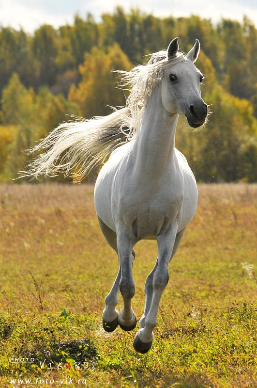 Laukkaava Hevonen
